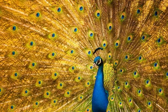pride-peacock