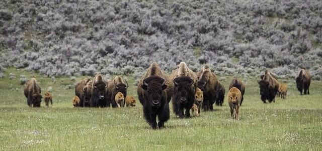 bison-873400_640